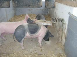 Schweinebürsten dienen dem Komfortverhalten bei der Hautpflege der Tiere.
