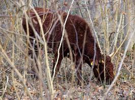 Die im Wald freilaufenden Rinder der Rasse Salers aus Frankreich verschmähen Sauergräser und die Rinde von verholzten Pflanzen nicht und sorgen so für einen lichten Waldbestand.