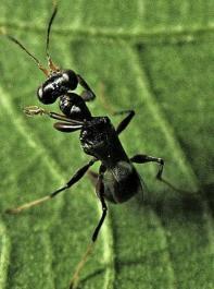Ein Gegenspieler der Bläulingszikade ist die Zikadenwespe Neodryinus typhlocybae.