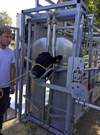 Das Fixieren des Rindes kann geübt werden, damit die Schlachtung am Tag X möglichst stressarm abläuft.
