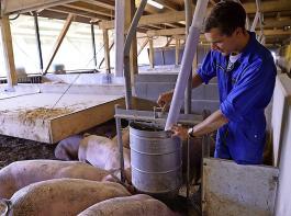 Erbsen und Ackerbohnen sind in der Fütterung von Bioschweinen schon lange etabliert. Rationen mit bis zu 30 Prozent sind keine Seltenheit.