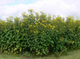 Die Durchwachsene Silphie eignet sich nicht nur für die Biogasproduktion, sondern auch als Grundfutterkomponente in Milchviehrationen.