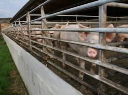 Auslaufbegrenzungen sollten nur aus Rohren bestehen und nicht aus Betonwänden. In  solchen Ausläufen lernen die Tiere eher mit neuen Situationen umzugehen, wie sie zum Beispiel   auf dem Transport oder im Schlachthof auftreten. Dies kommt der  Fleischqualität zugute.