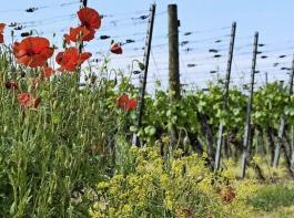 Mohn und Färberweid sorgen für Diversität im Weinberg.