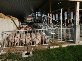 In diesem Stall für  tragende Sauen ist deutlich zwischen  Liege-, Kot- und Fressbereich unterschieden.