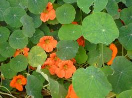 Bei Trockenheit gibt es bei der Kapuzinerkresse rasch gelbe Blätter, daher stets auf eine gleichmäßige Wasserversorgung achten.