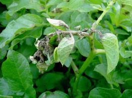Ein Primärbefall mit Krautfäule an Stängeln und Wipfeln kann viele Sporen freisetzen, die dann die Blätter infizieren.