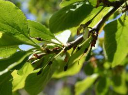 Seltener Anblick: Eine der Zwetschgenblüten ist grün geblieben.