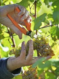 Die Weinlese für den Jahrgang 2021 ist in vollem Gang.