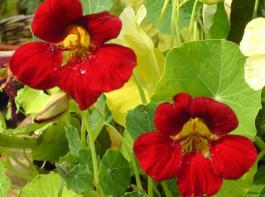 Die  Kapuzinerkresse 'Kaiserin von Indien' besticht mit blutroten Blüten und einem dunklen Laub.