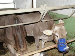 Der mechanische Bügel drückt die Kuh zurück.