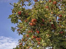 Die gefiederten Blätter des Speierlings verraten seine nahe Verwandtschaft zur Eberesche. Die Früchte allerdings lassen sich kaum verwechseln.