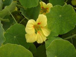 Die gelbe Kapuzinerkresse  'Golden King' ist  eine alte, buschig wachsende Sorte.