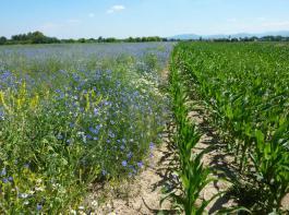 Zur Förderung der Biodiversität eignen sich am besten Blühstreifen. Aber auch der Mais bietet Tieren Lebensraum und Nahrung.