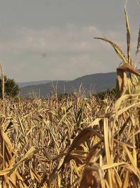 Der Klimawandel erhöht die Ertragsrisiken für die Bauern.