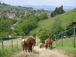 Auf dem 740m langen Rundweg haben die Pferde auch steile Anstiege zu bewältigen.