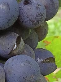 Oidium forcierte das Platzen der Beeren