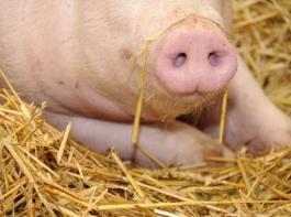 Über FAKT soll es unter anderem eine Weideprämie für Rinder geben. Zudem soll Stroheinstreu in der Schweinehaltung gefördert werden.