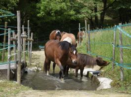 Auf dem Weg zur Tränke müssen die Pferde eine Wasserfurt durchqueren.