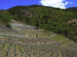 Die Reben im Terrassenanbau an steilen Hängen prägen eine eindrucksvolle Kulturlandschaft im Wallis.