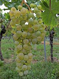 Die neue Rebsorte Sauvitage hat einen lockeren Traubenaufbau.