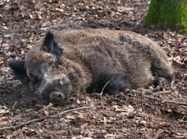 Schwarzwild konsequent bejagen: Der Deutsche Bauernverband fordert eine möglichst wildschweinfreie Zone an der polnischen Grenze und einen stabilen Schutzzaun.