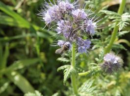 """Phacelia zählt zu den fruchtfolgeneutralen Zwischenfruchtarten und ist als """"Bienenweide"""" bei den Insekten heiß begehrt."""