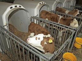 Unter das geplante Verbot soll auch  Kälberhaltung in Iglus fallen.