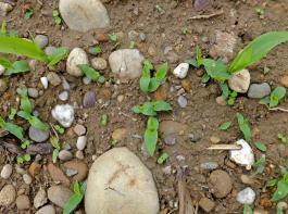 Haarstielhirse in Mais