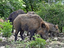 Innerhalb einer Wildschweinrotte  breitet sich die ASP nur langsam aus. Dadurch kann sie sich über lange Zeit im Wildschweinebestand halten.
