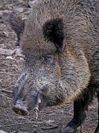 Das Risiko ist derzeit hoch, dass die ASP über Wildschweinbestände eingetragen wird.