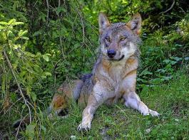 In Deutschland rissen im vergangenen Jahr Wölfe fast 4000 Nutztiere, davon  knapp 3500 Schafe, gefolgt von Gehegewild, Rindern und Ziegen.