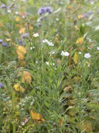 Blühende Zwischenfrucht-Mischungen sind im Spätsommer und Herbst eine wichtige Nahrungsquelle für Insekten und bereichern gleichzeitig das Landschaftsbild.