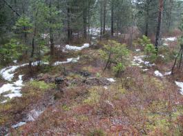 Äußerlich unscheinbar und doch eine ökologische Perle im Hochschwarzwald: das Hinterzartener Moor. Im Bild zu sehen ist der Randbereich, in dem Heidelbeeren und Bäume um Lebensraum kämpfen.