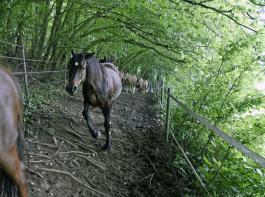 Der Waldabschnitt spendet Schatten. Die Wurzeln fördern die Trittsicherheit der Pferde.