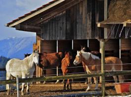 Nur 29 Prozent der Pferde werden in Gruppen gehalten. Dabei bevorzugen  inzwischen viele Pferdebesitzer diese Haltungsform.