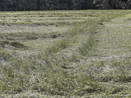 Wachstumsregler helfen, Lagergetreide zu vermeiden.