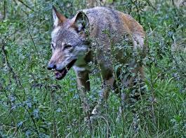Das Umweltministerium ist der Ansicht, dass der Grundschutz  vor dem Wolf für Tierhalter jetzt flexibler und einfacher zu handhaben ist.