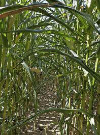 Maisbestände  mit eingerollten Blättern sind derzeit in Südbaden viele zu sehen.