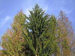 Fichtenkronen nach Borkenkäfer-Befall (von links nach rechts). Baum1: akut befallen, Nadeln vergilbend und zum Teil schon abgefallen. Baum2: ohne Befall, keine Kronensymptome. Baum3 (teils verdeckt): vergleichbar mit Baum1, jedoch Spitze noch grün. Baum4: älterer Befall, Nadeln kaum noch vorhanden, Brut des Borkenkäfers bereits ausgeflogen.