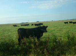 Die Rinderzucht ist der ganze Stolz der argentinischen Landwirtschaft. In den letzten Jahren wurden jedoch viele Weideflächen umgebrochen, um Ackerbau zu betreiben. Hier wächst im Hintergrund Soja.