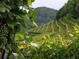 Die Hektarertragsregelung soll mit der Novelle des Weingesetzes flexibler ausgestaltet werden.