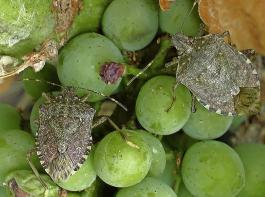 Die Marmorierte Baumwanze Halyomorpha halys gilt weltweit als einer der wichtigsten Schädlinge.
