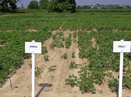 Zum Zeitpunkt der Sojaaussaat war der Boden stellenweise zu nass für die anspruchsvollen Pflanzen, was lückige Bestände zur Folge hat.