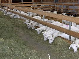 Die Qualität des Grundfutters bestimmt die Futteraufnahme und somit die Höhe der eventuellen Kraftfuttermenge.