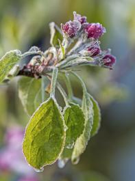 Apfelblüte im Frost