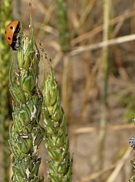 Ein Marienkäfer (oben links) und eine Marienkäferlarve (unten rechts) tun sich gütlich an Getreideblattläusen.
