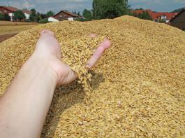 Das Getreide wurde nicht selten mit Feuchtewerten von   zwölf Prozent und darunter angeliefert.