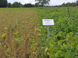 Sojapflanzen sind sensibel. Ein Vergleichsversuch der ZG zeigt die Reaktion auf unterschiedliche Saatverfahren. Rechts: Einzelkornsaat; links: Drillsaat. Auch Sortenunterschiede treten hervor.