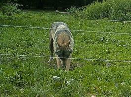 Bei einem Forschungsprojekt unter Beteiligung der FVA wurde das Verhalten von Gehegewölfen an Zäunen untersucht. Zu sehen ist ein Wolf beim Versuch, sich unter einem Zwei-Litzen-Zaun (Litzenhöhen 25 und 65cm) hindurchzugraben. Es zeigte sich, dass die Wölfe ausschließlich versuchten, die Zäune  durch Untergraben und -kriechen zu passieren.